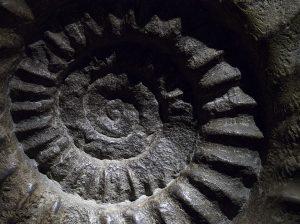 Dieses Bild zeigt ein Ammonit